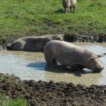Varkens buiten in de modder